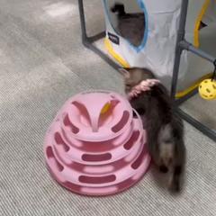 もうすぐ生後2ヶ月:キジトラ子猫3匹:キンちゃん